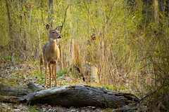 Deer Encounter (Eric Tischler) Tags: deer ohio park woods evening