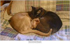 Fonzie and Guinness (Sherwood Harrington) Tags: pets cats fonzie guinness fawnabyssinian sableburmese