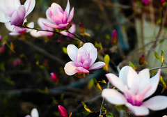 Magnolia bloom (Michael.Jolley) Tags: flowers nature