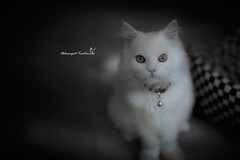I am Charies (Akkarapat) Tags: cat dramatic dreamatic nikon d3s nikor 85 mm animal fantasy pet portrait