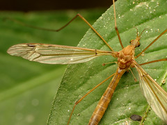 Crane Fly (treegrow) Tags: rockcreekpark washingtondc nature lifeonearth raynoxdcr250 arthropoda insect diptera fly tipulidae