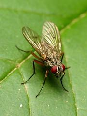Muscid Fly (treegrow) Tags: rockcreekpark washingtondc nature lifeonearth raynoxdcr250 arthropoda insect diptera fly muscidae