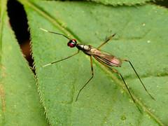Micropezid Fly (treegrow) Tags: rockcreekpark washingtondc nature lifeonearth raynoxdcr250 arthropoda insect diptera fly micropezidae rainieriaantennaepes