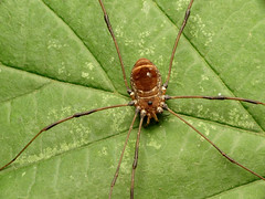 Harvestman (treegrow) Tags: rockcreekpark washingtondc nature lifeonearth raynoxdcr250 arthropoda arachnida opiliones