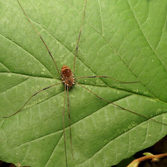 Harvestman (treegrow) Tags: rockcreekpark washingtondc nature lifeonearth raynoxdcr250 arthropoda arachnida opiliones