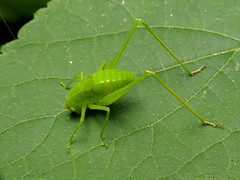 Round-headed Katydid Nymph (treegrow) Tags: rockcreekpark washingtondc nature lifeonearth raynoxdcr250 arthropoda insect orthoptera tettigoniidae amblycorypha