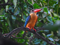 Stork-billed Kingfisher !! (Lopamudra !) Tags: lopamudra lopamudrabarman lopa kingfisher storkbilledkingfisher storkbilled mygarden kolkata westbengal india bird garden nature colour color colours colourful beauty beautiful
