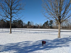 A little bit of Bully vs Winter (lezumbalaberenjena) Tags: bully boston terrier dog perro chien chiot snow nieve niege cold frio lezumbalaberenjena 2019