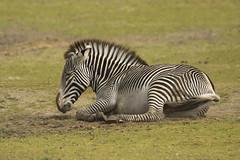 Grévy zebra - Safaripark Beekse Bergen - Hilvarenbeek (Jan de Neijs Photography) Tags: dierentuin zoo tamron tamron150600 150600 dierenpark nl holland thenetherlands dieniederlande diergaarde g2 animal dier beeksebergen safaripark safariparkbeeksebergen hilvarenbeek grévyzebra zebra equusgrevyi sbb zwartwit paard noordbrabant pferd horse gestreept strepen tijgerpaard