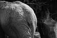 20190315 Higashiyama 7 (BONGURI) Tags: 名古屋市 愛知県 日本 bw monochrome blackandwhite 白黒 モノクロ モノクローム butt bottom rear backside hip rump wrinkle line 尻 ケツ 皺 シワ elephant africanelephant ゾウ 象 ぞう アフリカゾウ アフリカ象 animal 動物 higashiyamazooandbotanicalgardens higashiyama zoo 東山動植物園 東山動物園 動物園 東山 chikusaward chikusa 千種区 千種 nagoya 名古屋 aichi 愛知 nikon d850 afsvrzoomnikkored70200mmf28gif