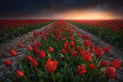 [ ... red carpet ] (D-P Photography) Tags: landscape landschaft tulips tulpen tulip field tulpenfeld sonnenuntergang sunset sun spring frühling glow light warmth dennis polkläser dp photography feisol haida
