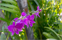 Orchid 4 (Mabacam) Tags: 2019 costarica flowers flora orchids colour nature outdoor plants tropical purple