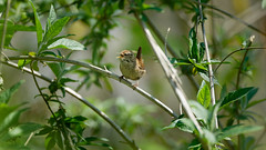 Bird singing on a branch : a wren (Franck Zumella) Tags: bird oiseau nature sing singing chanter chant chantant hidden hidding cacher wildlife tree arbre branch branche wren troglodyte mignon sony a7s a7 tamron 150600 animal song loud small noisy leave leaf feuille green vert spring printemps