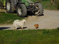 ....abgelenkt..... (elisabeth.mcghee) Tags: katze kater cat dog hund weiss white rot red getigert tiere haustiere animals kampf fight oberpfalz unterbibrach upperpalatinate