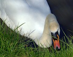 Swan eating grass (Tony Worrall) Tags: birds nature natural wild wildlife outdoors cute fun nice beauty swan preston lancs lancashire city welovethenorth nw northwest north update place location uk england visit area attraction open stream tour country item greatbritain britain english british gb capture buy stock sell sale outside caught photo shoot shot picture captured ilobsterit instragram photosofpreston