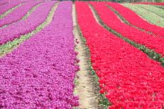 Tulip landscape (hedgehoggarden1) Tags: tulips flowers flora lines landscape sonycybershot norfolk eastanglia uk sony nature field colour mauve red