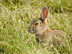 Wild Rabbit (LouisaHocking) Tags: marazion marsh cornwall southwest england wild wildlife british nature rabbit wildrabbit mammal animal