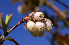 Heidelbeere, amerikanische Strauch- / northern highbush blueberry (vaccinium corymobsum) (HEN-Magonza) Tags: botanischergartenmainz mainzbotanicalgardens rheinlandpfalz rhinelandpalatinate deutschland germany flora frühling springtime amerikanischestrauchheidelbeere heidelbeere northernhighbushblueberry vacciniumcorymobsum blue huckleberry tallhuckleberry swamphuckleberry highblueberry swampblueberry
