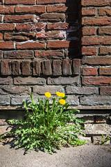 Breaking free (Christian von Schack) Tags: oslo norge galgeberg blomst flower pavement fortau gate gatefotografi street streetphotography spring vår gamlebyen asfalt asphalt