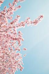 Breitenlee, Wien XXII, Austria (KarlOplustil) Tags: spring frühling vienna austria canon pink blue blooming inbloom tree nature