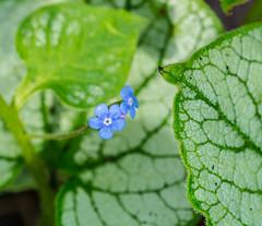 Something Blue. (Omygodtom) Tags: bokeh blue green earthday tamron90mm natural d7100 digital flora flower april usgs america