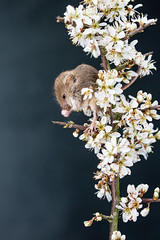The blossoms beautiful but boy is stinks.. (beverleythain) Tags: harvest mouse rodent tiny uk captive blossom cute fur nature wildliofe animal close up macro