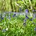 Bluebells in Worcester woods