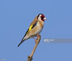 Goldfinch (Gary Chalker, Thanks for over 4,000,000. views) Tags: goldfinch finch bird pentax pentaxk3ii k3ii pentaxfa600mmf4edif fa600mmf4edif fa600mm 600mm