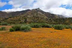 GO TELL IT ON THE MOUNTAIN (Day Night Tripper) Tags: blooms blossoms bushlupine california californiapoppy canyons creek daisy eschscholtziacalifornica fiddlenecks flowers foothills goldfields grass hilsidedaisies lupine lupines mountains poppies poppy rivers streams trees wildflowers