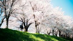 釜山。春 (stanley yuu) Tags: korea busan spring city people 韓國 櫻花 人 釜山 公園 park 桜 韓国
