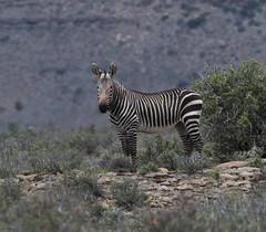 Mountain zebra (Equus zebra)-0850 (Dave Krueper) Tags: africa mammal mountainzebra southafrica zebra