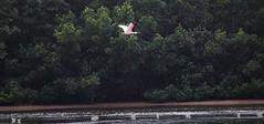 Roseate Spoonbill (Ajaia ajaia); Sanibel Island, FL, Ding Darling NWR [Lou Feltz] (deserttoad) Tags: bird wildbird nature wader egret heron spoonbill pink florida water behavior reflection