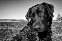 Black Bichou (uwe.kast) Tags: labrador labradorretriever labradorredriver bichou black hund haustier dog panasonic lumix g9