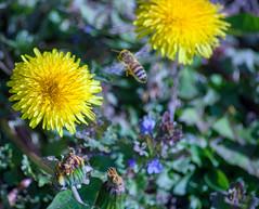fleißige Biene (quatro TV) Tags: natur garten park felder strauch blumen