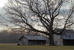 One mighty tree (LivGreen) Tags: tree barn old rustic shed farm field sky clouds evening branches