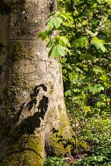 Wald-28426-20190420.jpg (CitizenOfSeoul) Tags: laubbaum moos naturphotography outdoor licht wald natur spaziergang badenwürttemberg schatten rinde schattenspiel naturfotografie 08landschaftenundnatur blat lebensraum baum