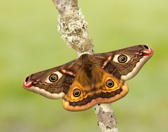 Emperor Moth Saturnia pavonia, male. (Iain Leach) Tags: wildlifephotography photograph image wildlife nature iainhleach wwwiainleachphotographycom canon canoncameras photography macro macrophotography closeup butterfly moth lepidoptera insect invertebrate emperormoth saturniapavonia