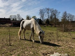 Gräsletaren… (Patrick Strandberg) Tags: sweden östergötland bergagård freyda freydafrånblixtorp icelandichorse islandshäst horse häst iphone iphonex