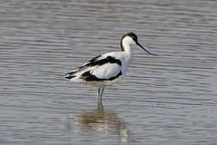 "Avocet ""Recurvirostra avosetta"" (michael.jh) Tags: sigma500mmf4 birds bird nature michaeljh canoneosr eosr slimbridge wwt waders avocet recurvirostraavosetta"