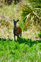 DinnerIslandRanch (39) (photomedic88) Tags: dinnerislandranchwma dinnerislandranch hendrycountyflorida hendrycounty alligator cow deer swamp everglades daviderdman floridawildlife wildlife