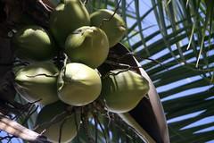 Jeunes Cocos de Tahiti (Christian Chene Tahiti) Tags: canon 7d pirae tahiti coco cocotier palmier palme jeune vert ciel bleufeuille fruit jus jusdecoco ombre shadow coconut eau coconuttree eaudecoco