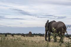 DSC_3624_1 (Marshen) Tags: elephant zambia termites capebuffalo