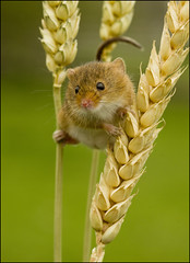 Harvest Mouse (Craig 2112) Tags: harvest mouse micromys minutus macro rodent mice wheat