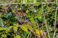 Glimpse of Adder (Matchman Devon) Tags: national trust ringmore ayrmer cove south hams devon adder viper berus