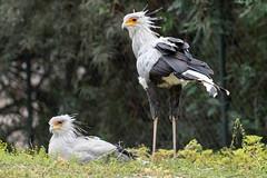 Secretary Bird. (LisaDiazPhotos) Tags: lisadiazphotos secretary bird sdzsafaripark sdzoo sdzsp sandiegozoo sandiegozooglobal sandiegozoosafaripark