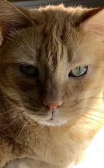 Tigger Garfield (Hialean) Tags: kitty portrait pet animal gato cat