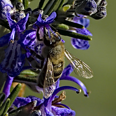 Honeybee 2 20 Apr 2019 (Tim Harris1) Tags: honeybee insect animal bee helhoughton norfolk nikond7100 nikkor80400afs