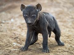 Last hyena pup picture (Tambako the Jaguar) Tags: hyena spotted baby pup cub cute black young standing posing newborn portrait soil lionsafaripark johannesburg southafrica nikon d5