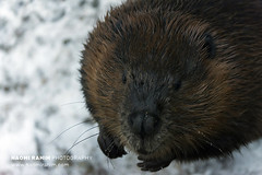North American Beaver - Ranua, Finland (Naomi Rahim (thanks for 4.7 million visits)) Tags: finland ranua zoo arctic rovaneimi arcticzoo 2018 autumn winter travel travelphotography nikon nikond7200 cold animal wanderlust wildlife lapland beaver snow portrait cheeky