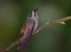 Brown Violetear (anacm.silva) Tags: brownvioletear ave bird hummingbird wild wildlife nature natureza naturaleza colibri beijaflor monteverde costarica colibridelphinae